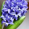 紫风信子KK